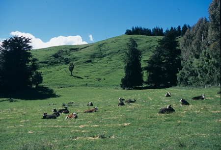 Cattle on the grassland