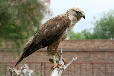 aquila reale: Aquila reale