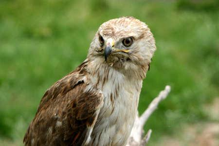 golden eagle: Steinadler