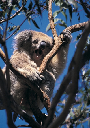Koala bear on the gum tree  Stock Photo - 20106584