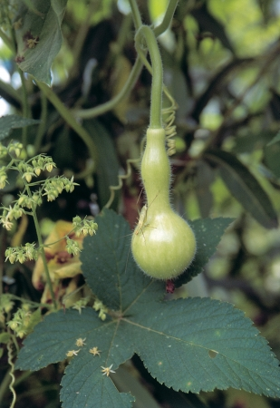 dried gourd: Scenics of Autumn