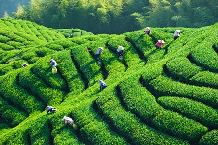tea garden: