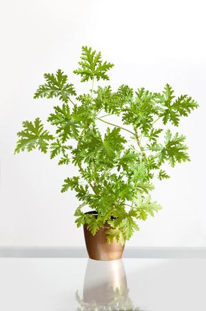 Pelargonium citrosum plant or pelargonium graveolens