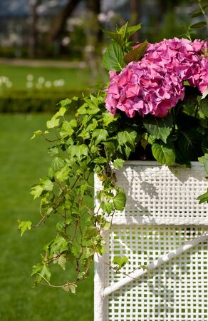 Hydrangea or hortensia blooming and ivy plant called hedera helix grow in white plastic box in ornamental garden