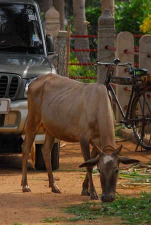 cattle in Sri Karpaga Vinayagar Temple