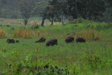 wild boars in Periyar Wildlife Sanctuary