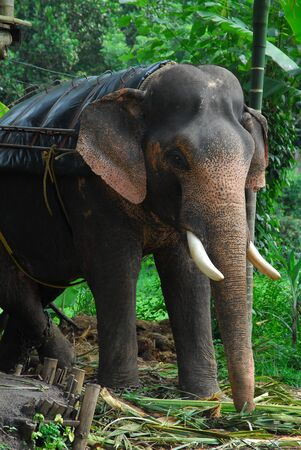elephant in Tusker Trail