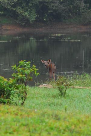 deer in Periyar Wildlife Sanctuary Stock Photo
