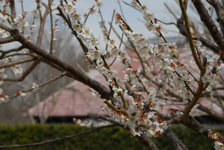 white blossom tree 版權商用圖片