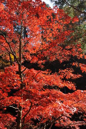 赤いカエデの葉