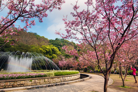 Cherry blossom of Yangming mountain
