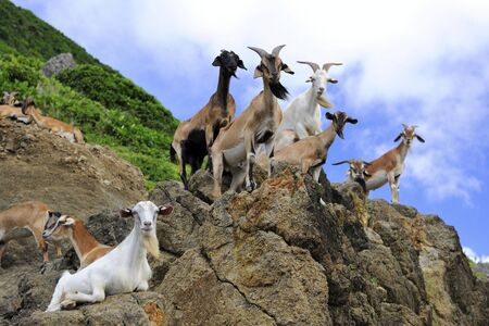 Goats stand on the rock looking at the camera in Lanyu island