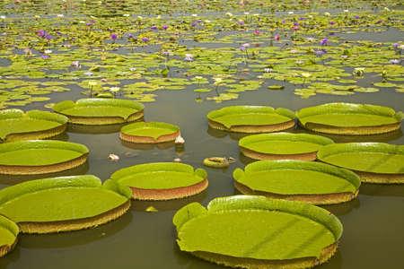 Tainan Baihe King Lotus Field Stock Photo