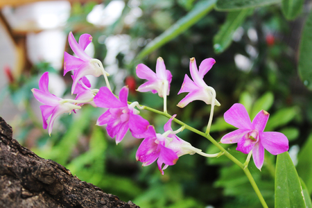 Pink and Violet orchid flower. nature Stock Photo