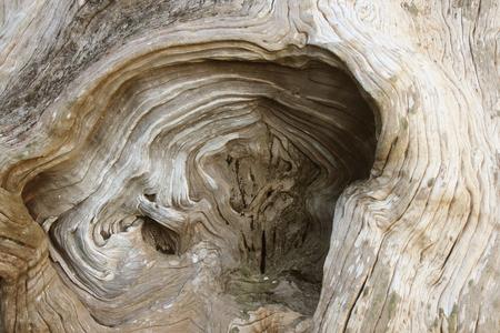 Wood texture on the old tree stump roots. Wavy lines. image of Bark Texture of Wood background closeup 版權商用圖片