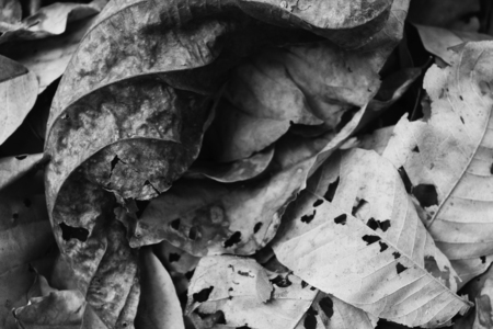 Leaves Dry leaf White and black photo texture background.
