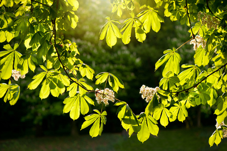 Flowering aesculus horse chestnut foliage vibrant green colors in sunlight