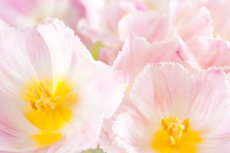 Subtle pink tulip macro inside
