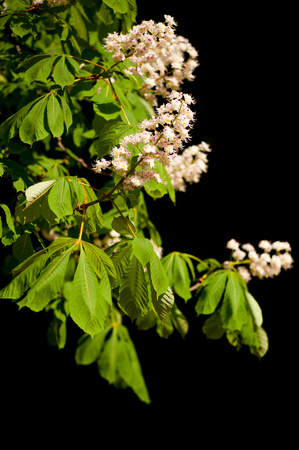 Detail of blooming aesculus tree on black background LANG_EVOIMAGES