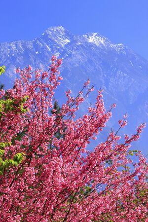 jade plant: Nantou County,Jade Mountain North Peak,sakura