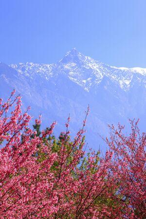 jade plant: Nantou County,Jade Mountain,snow,sakura