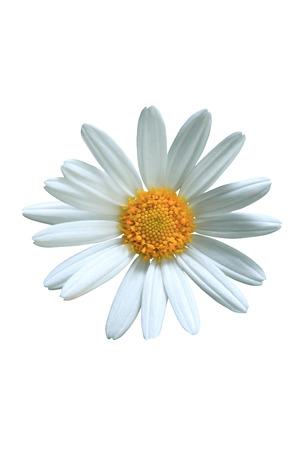 marguerite: Flower Head LANG_EVOIMAGES