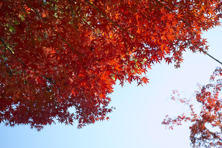 Maple Reds LANG_EVOIMAGES