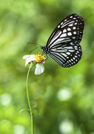 Wildd Mikweed Butterfly feeding on little flower LANG_EVOIMAGES