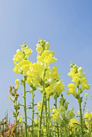 snapdragon: Yellow flowers in the field under blue sky,sunny day,Snapdragon