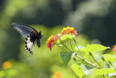 Papillon machaon (Papilio memnon heronus Fruhstorfer, Papilionidae), Asie LANG_EVOIMAGES