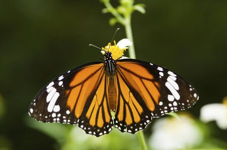 Butterfly opens its wings and feeds on little flower (Danaus genutia Cramer) LANG_EVOIMAGES