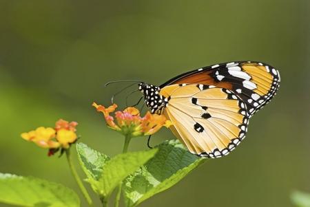 Milkweed butterfly (Anosia chrysippus,Danaidae) feeding on flower