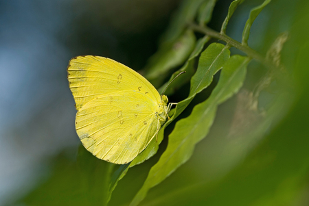 Yellow butterfly rest on fern leaf LANG_EVOIMAGES