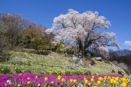 Cherry tree at Koshidai,Fukushima,Japan