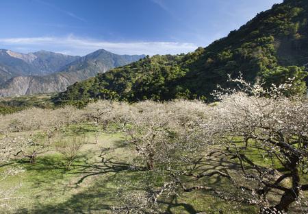 Nantou, Liu Plum blossom