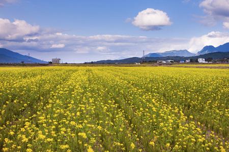 Taitung, Chishang, rape flower field