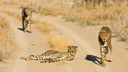 Wild hungry cheetahs Reklamní fotografie