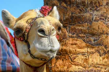 Head of dromedary domesticated riding camel tied up with metal chain