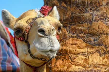 Tête de chameau domestiqué dromadaire attaché avec une chaîne en métal