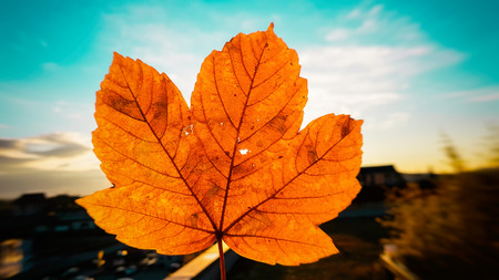 Sunset light illuminating and penetrating thought small hole in autumn red and yellow colored leaf with small hole producing sun beams Stockfoto