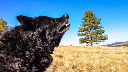Black funny and sleepy curly dog sitting on a dry winter grass relaxing and catching warm morning sun light on a nice clear sunny day Imagens