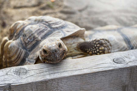 Small land turtle inside wooden fence at the backyard used as a home pet