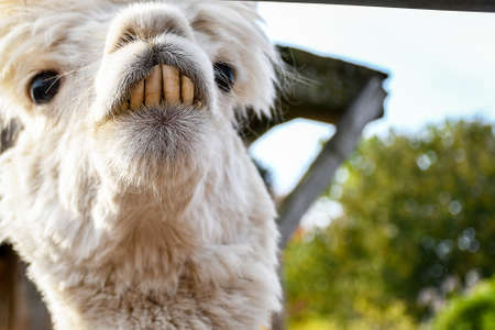 Adorable smiling funny looking white lama with big front teeth looking around inside a small ranch head shoot