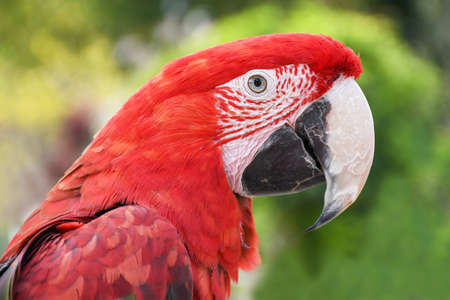Close up head shoot portrait of an colorful parrot green wing scarlet Macaw