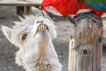 Adorable smiling funny looking white lama with big front teeth staring at green wing scarlet macaw head to head shoot