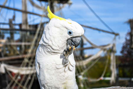 White yellow crested Cockatoo, Cacatua galerita, standing on an old wooden pirate boat eating cracker 写真素材