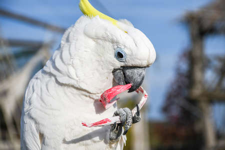 White yellow crested Cockatoo, Cacatua galerita, standing on an old wooden pirate boat eating plastic