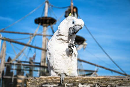 White yellow crested Cockatoo, Cacatua galerita, standing on an old wooden pirate boat eating cracker Stockfoto