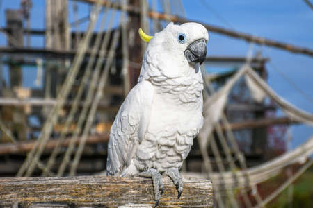 White yellow crested Cockatoo, Cacatua galerita, standing on an old wooden pirate boat 写真素材