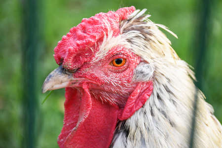 Portrait of white chicken with red head behind a farm fence close up